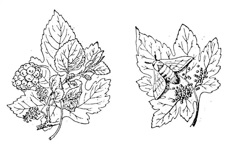 788-maulbeerbaum-seitdenraupenzucht-327.webp