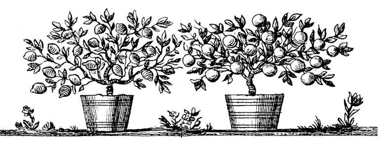 792-limonen-und-pomeranzenbaum-329.webp
